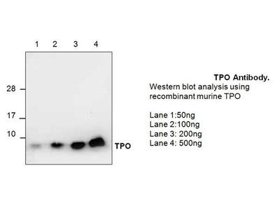 TPO Antibody