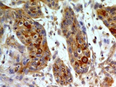TLR8/CD288 Monoclonal Antibody