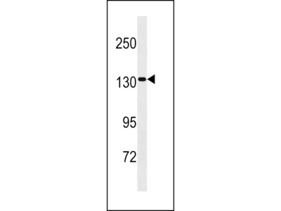 SAPS2 Antibody (Center)