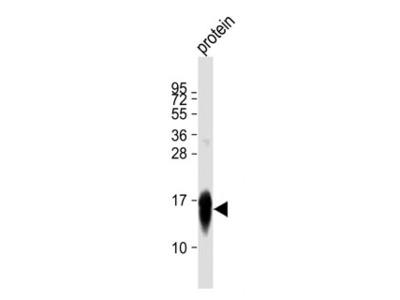 LC3 Antibody (APG8)