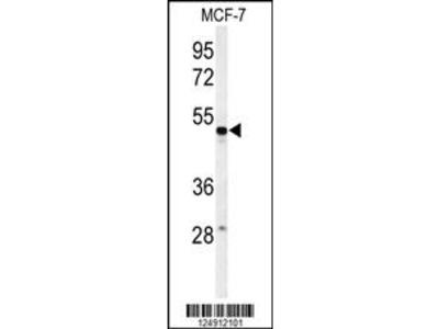 PSG7 Antibody (C-term)