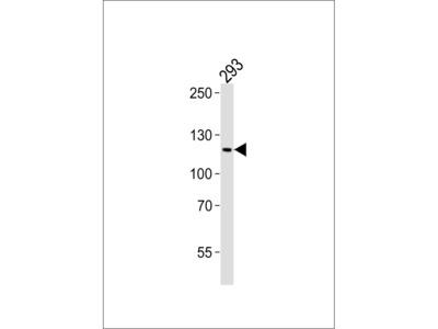 PAXIP1 Antibody (N-term)