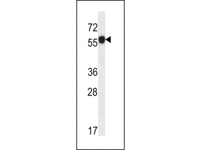 C6orf211 Antibody (N-term)