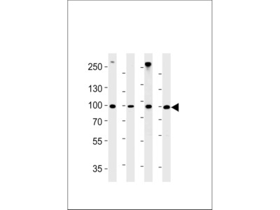 HSPCB Antibody (N-term)