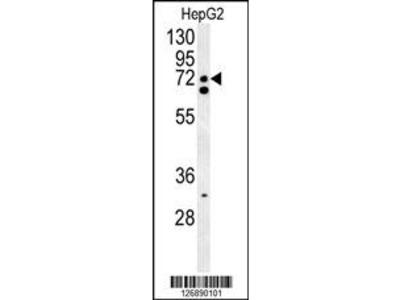 SFRS16 Antibody (Center)
