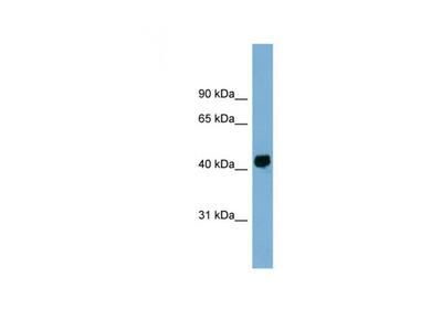KIAA1704 antibody