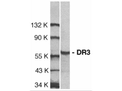 DR3 Antibody