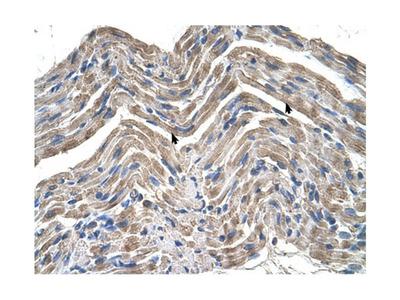 Neuroplastin antibody
