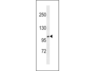 XYLT1 Antibody (N-term)