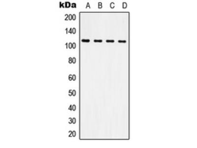 Anti-CD61 Antibody