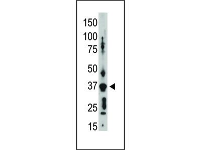 Connexin 36 Antibody (C-term)
