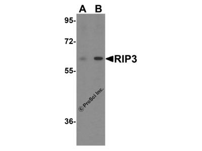 RIP3 Antibody