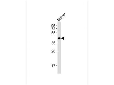 HTR5A Antibody (Center)