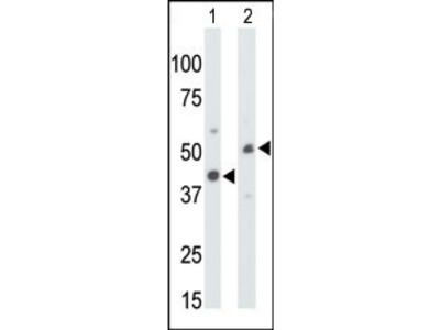 CKMT1 Antibody (N-term)