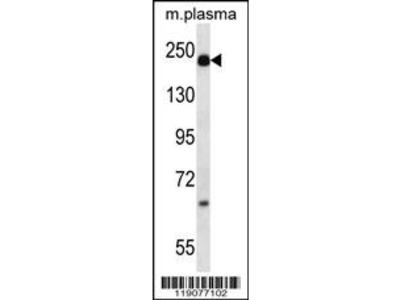 A2M Antibody (N-term)