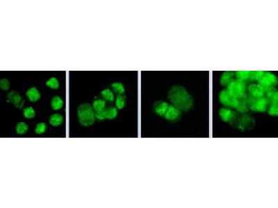PSF3 antibody
