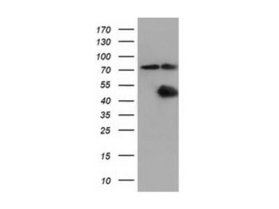 CBWD1 antibody