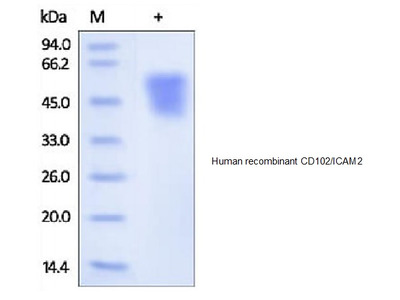 Human CellExp ICAM2 / CD102, human recombinant