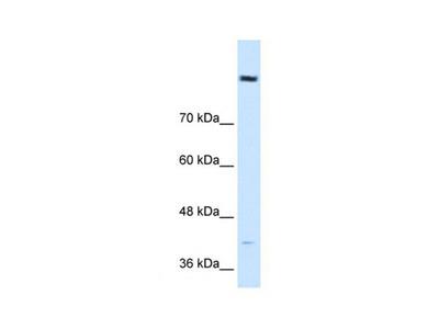 Cobl-Like 1 antibody