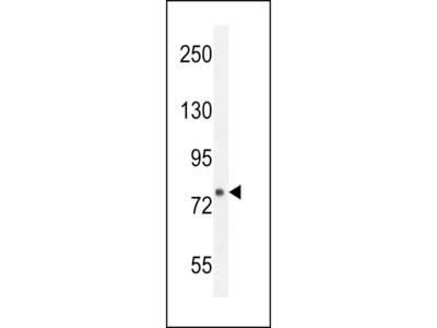 FBXL10b Antibody (N-term)