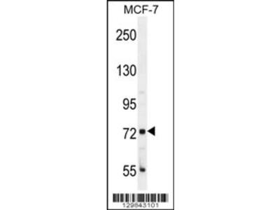CTGE4 Antibody (N-term)