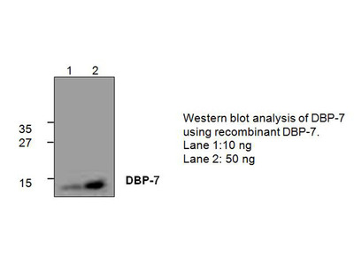 DNA Binding Protein-7 (DBP-7) Antibody