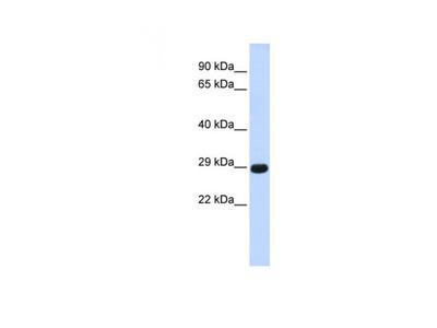 Chymotrypsinogen B1 antibody