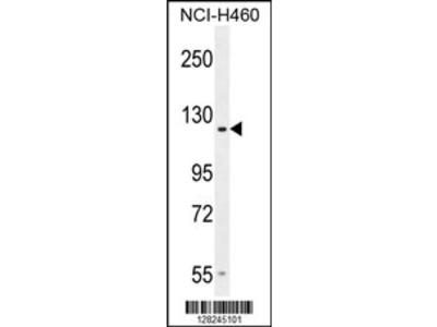 GPR144 Antibody (Center)