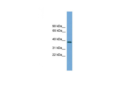C22orf36 antibody
