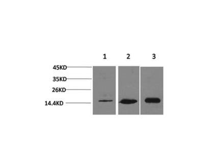 LC3 Antibody