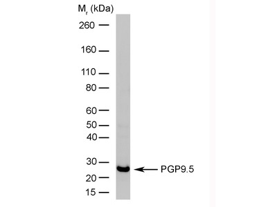 MOUSE ANTI HUMAN PROTEIN GENE PRODUCT 9.5