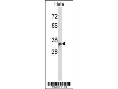 DTNBP1 Antibody (N-term)