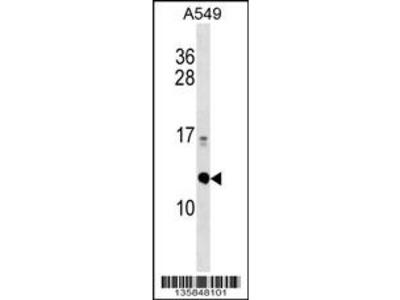 ERH Antibody (N-term)