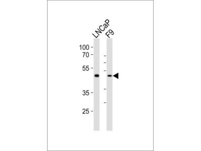 (Mouse) Sox17 Antibody (C-term)