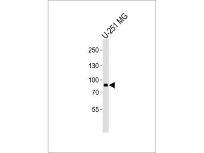 (DANRE) rfx4 Antibody