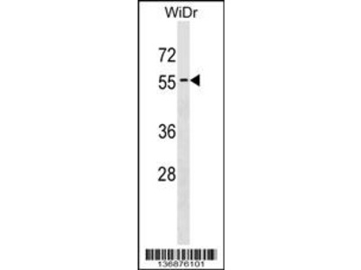 APG4D Antibody (Center S341)