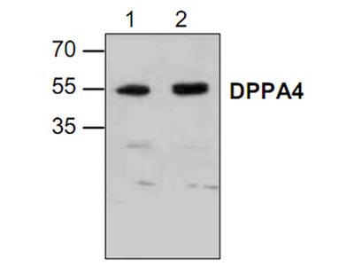 SPHKAP Antibody