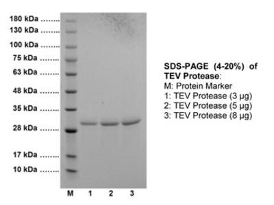 EZCut TEV Protease, Recombinant