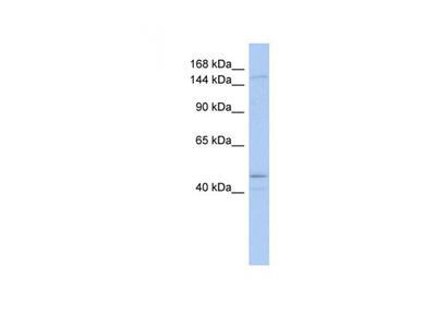 SKIV2L antibody