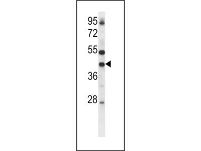 Connexin 37 Antibody (C-term)