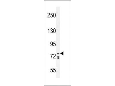 CDH24 Antibody (N-term)