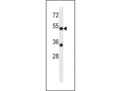 ADRA2C Antibody (C-term)
