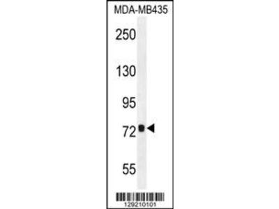 CCDC81 Antibody (Center)
