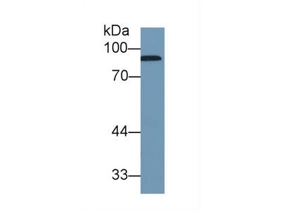 Polyclonal Antibody to Complement Factor B (CFB)