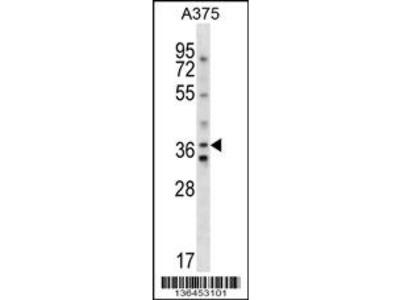 AVPR1A Antibody (C-term)