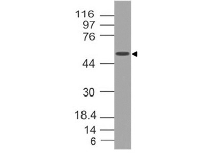 SOX-10 Monoclonal Antibody