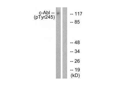 cAbl antibody (Tyr245)