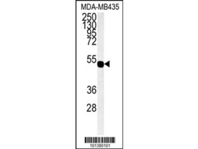 GJA7 Antibody (N-term)