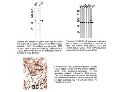LC3 (APG8C) Antibody
