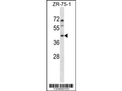 PANX3 Antibody (N-term)